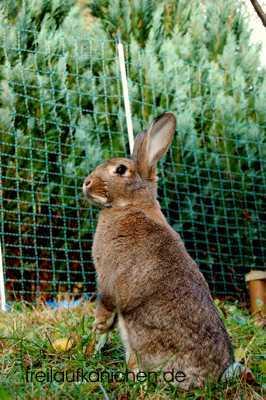 Freilaufende Kaninchen Im Garten Mit Elektrischem Weidezaun Von Horizon