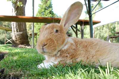freilaufende kaninchen im garten mit elektrischem. Black Bedroom Furniture Sets. Home Design Ideas